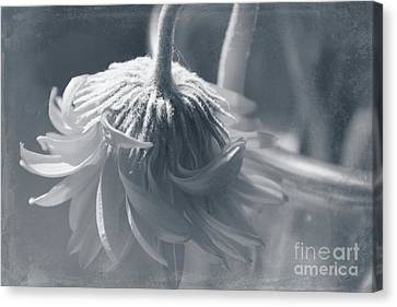 Aging Canvas Print - Feeling A Little Blue  by Mellissa Ray
