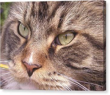 Feline Perfection Canvas Print by Joanne Simpson