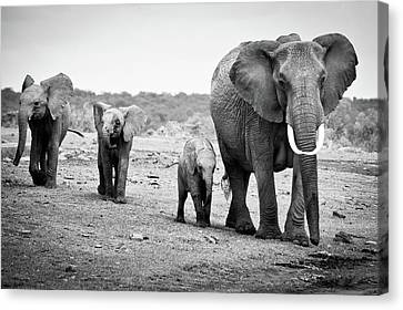 On The Move Canvas Print - Female African Elephant by Cedric Favero
