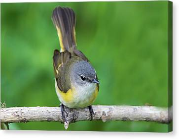 American Redstarts Canvas Print - Female American Redstart  by Mircea Costina Photography