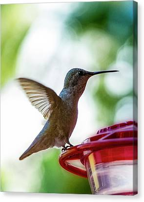 Canvas Print featuring the photograph Female Anna's Hummingbird V24 by Mark Myhaver