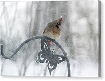 Female Cardinal In 2016 Blizzard Canvas Print by Ericamaxine Price