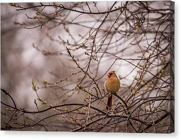 Canvas Print featuring the photograph Female Cardinal In Spring 2017 by Terry DeLuco