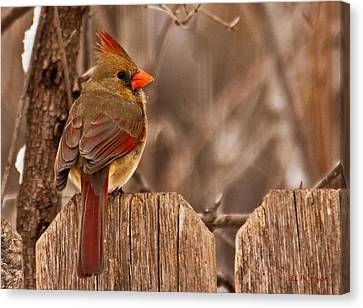 Female Cardinal On The Fence Canvas Print by Edward Peterson