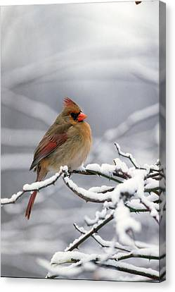 Female Cardnal In That Snow Canvas Print by Terry Dickinson