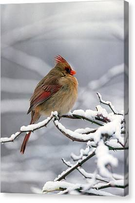Female Cardnal In The Snow #2 Canvas Print by Terry Dickinson
