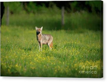Female Coyote Cautiously Looking Around Canvas Print by Dan Friend