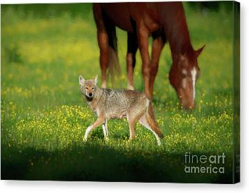 Female Coyote Cautiously Walking In Field With Horses Canvas Print by Dan Friend