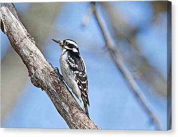 Canvas Print featuring the photograph Female Downey Woodpecker 1104  by Michael Peychich