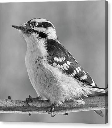 Female Downy Woodpecker In Winter Canvas Print by Jim Hughes