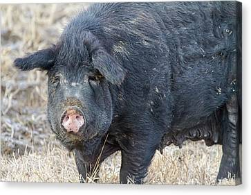 Canvas Print featuring the photograph Female Hog by James BO Insogna