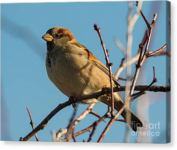 Sparrow Canvas Print - Female House Sparrow by Mike Dawson
