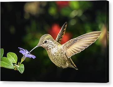 Canvas Print featuring the photograph Female Hummingbird And A Small Blue Flower Left Angled View by William Lee
