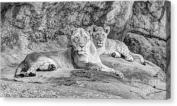 Female Lion And Cub Bw Canvas Print by Marv Vandehey