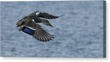 Female Mallard Flying Canvas Print by Marilyn Wilson