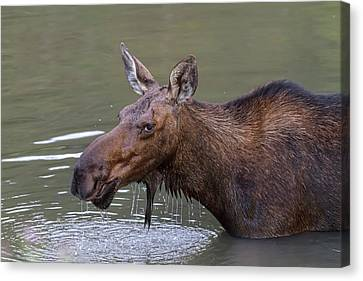 Canvas Print featuring the photograph Female Moose Head Shot by James BO Insogna