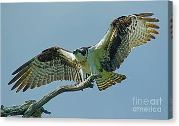 Female Osprey Canvas Print