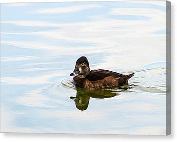 Female Ring-necked Duck Canvas Print by Norman Johnson