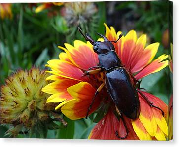 Female Stag Beetle Canvas Print