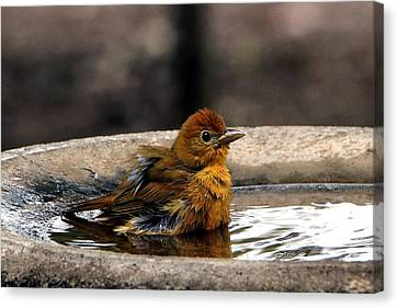 Female Summer Tanager In Bird Bath Canvas Print