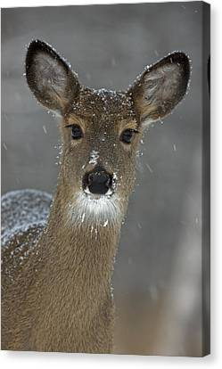 Female White-tailed Deer, Odocoileus Canvas Print