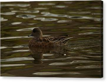 Canvas Print featuring the photograph Female Wigeon by Jeff Swan