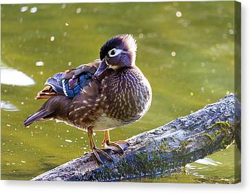 Female Wood Duck Canvas Print by David Gn