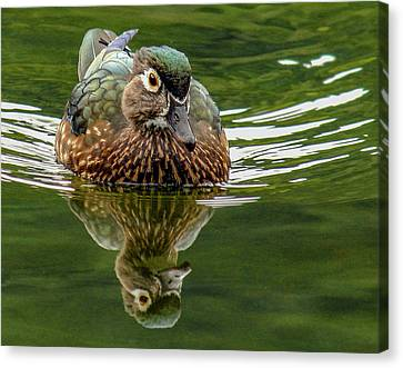 Canvas Print featuring the photograph Female Wood Duck by Jean Noren