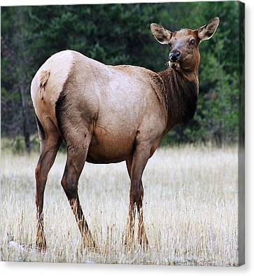 Feme Elk Canvas Print by Tiffany Vest