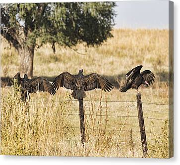 Canvas Print featuring the photograph Fence Post Vultures by Bill Kesler