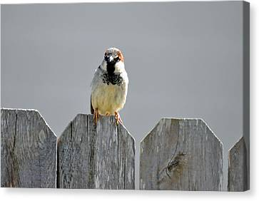 Canvas Print featuring the photograph Fence Sitting  by Teresa Blanton