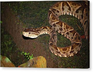 Canvas Print featuring the photograph Fer-de-lance, Botherops Asper by Breck Bartholomew
