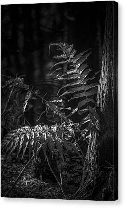 Fern And Cypress B/w Canvas Print by Marvin Spates