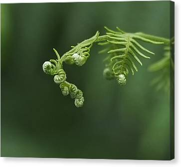 Fern Frond Awakening Canvas Print by Rona Black