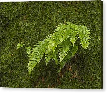 Fern Fronds On Moss Canvas Print by Jean Noren