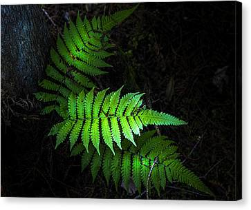 Fern Life Canvas Print by Marvin Spates