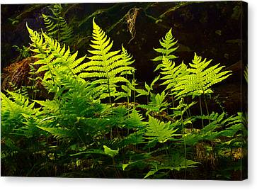 Fern Light Canvas Print by Phil Koch