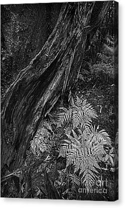 Fern Canvas Print by Russ Brown