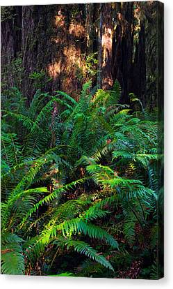 Ferns Growing Beside Redwood Trees Canvas Print by Panoramic Images