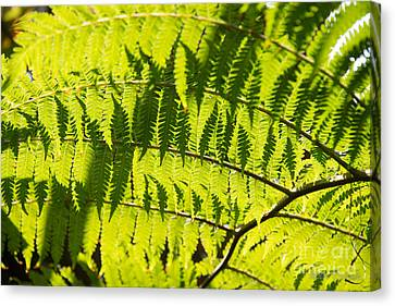 Ferns In Sunlight Canvas Print