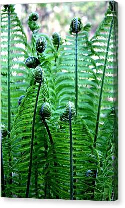 Ferns Unfurling Canvas Print by Deborah  Crew-Johnson