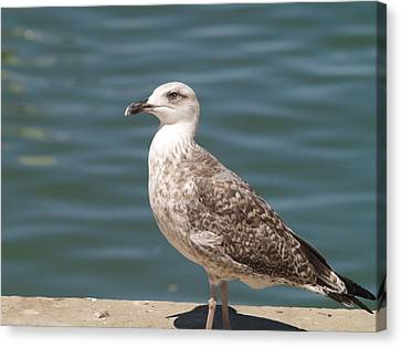 Canvas Print featuring the photograph Ferragudo Gull by Michael Canning