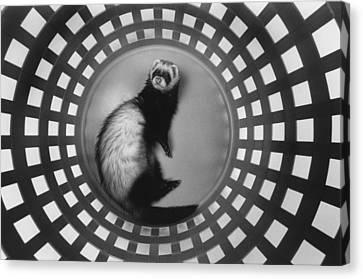 Ferret In Circles Canvas Print