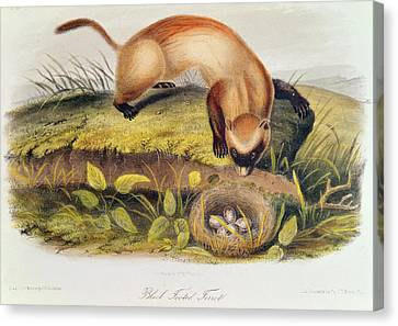 Black-footed Ferret Canvas Print - Ferret by John James Audubon