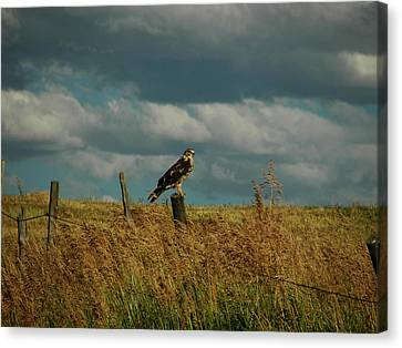 Ferruginous Hawk Canvas Print by Daniel Hebard