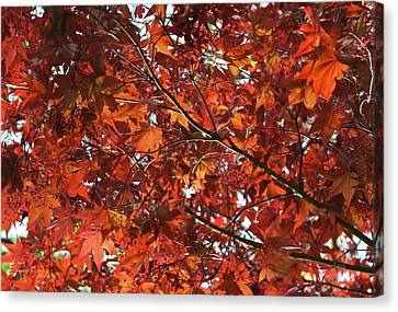 Canvas Print featuring the photograph Festive Japanese Maple by Michele Myers