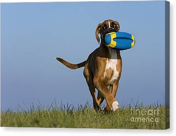 Dog At Play Canvas Print - Fetching Boxer Puppy by Jean-Louis Klein & Marie-Luce Hubert