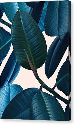 Ficus Elastica 2 Canvas Print by Mark Ashkenazi