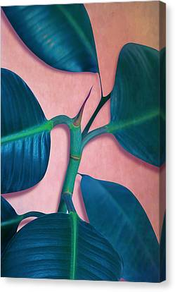 Ficus Elastica Canvas Print by Mark Ashkenazi
