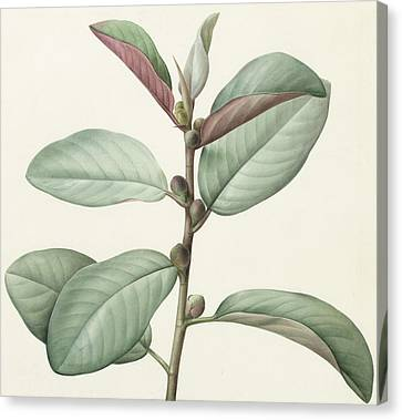 Red Leaf Canvas Print - Ficus Rubeginosa by Pierre Joseph Redoute